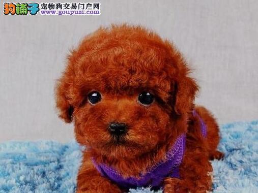 正规宠物店专业繁殖高品质南京泰迪宝宝出售 非诚勿扰