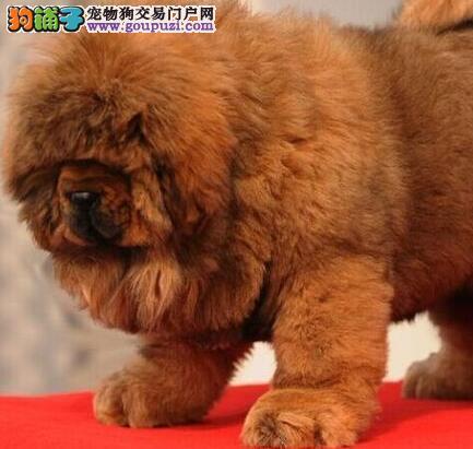 大狮子头铁头包金血系的徐州藏獒找新爸爸妈妈