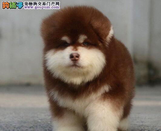 正规养殖纯种健康阿拉斯加幼犬出售