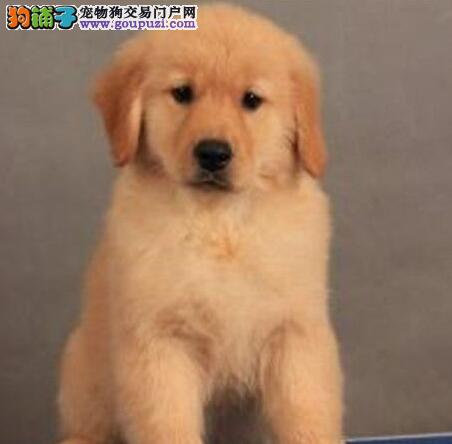 黄金被毛高品质的西宁金毛犬低价出售 签订协议
