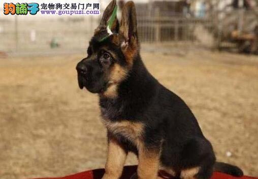 公母均有的咸阳德国牧羊犬找爸爸妈妈期待来电咨询