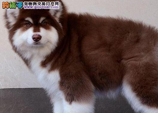 重庆知名犬舍出售多只赛级阿拉斯加犬国际血统认证