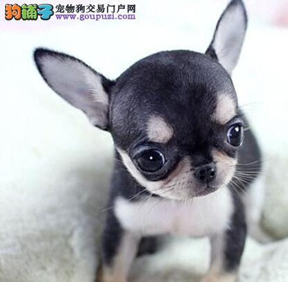 上海大型狗场转让几只超小体型的吉娃娃幼犬 欲购从速