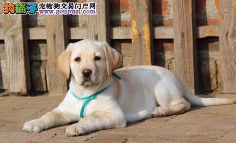 低价促销身体健康的西宁拉布拉多犬 品质极佳完美售后