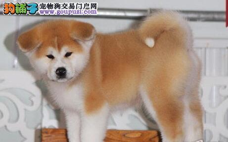 秋田犬宝宝热销中、专业繁殖宝宝健康、质保健康90天