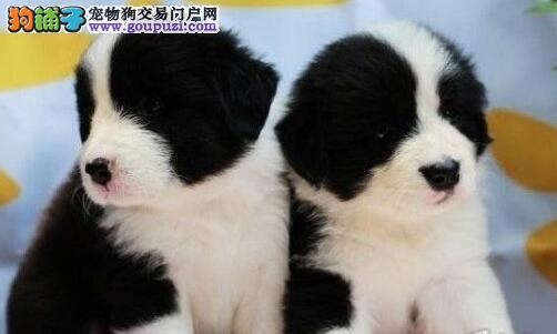 出售正宗血统优秀的重庆边境牧羊犬外地可空运已驱虫