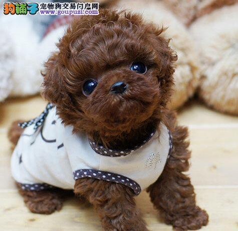 天津本地出售高品质泰迪犬宝宝赛级品质血统保障