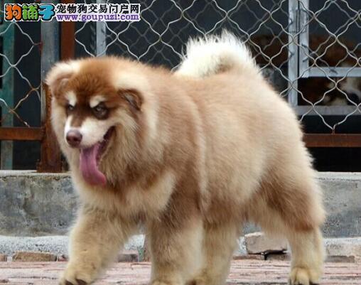贵阳本地狗场直销出售双十字阿拉斯加雪橇犬 品相好