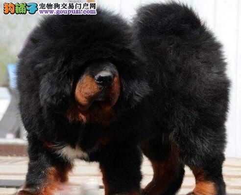 藏獒幼犬热销中、假一赔十价位最低、全国空运到家