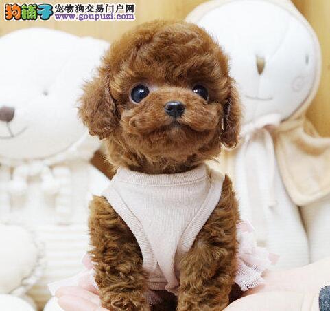 超小体活泼可爱的泰迪犬火爆出售中 西宁市内可送货