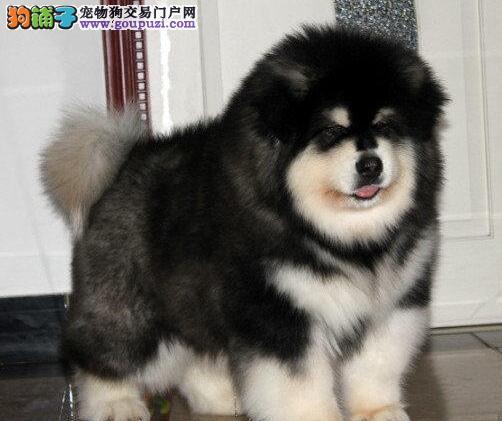 贵阳市上门犬业出售阿拉斯加犬/当天全款包邮·送货上