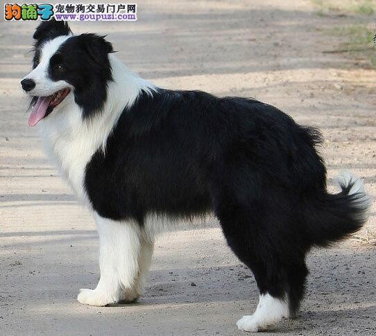武汉犬舍出售高品质赛级边境牧羊犬 可上门挑选看狗