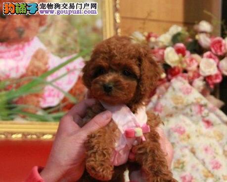 火爆出售毛色佳品相好的青岛贵宾犬 附近可送狗上门选