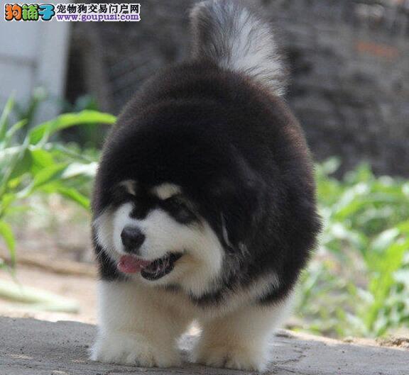 武汉狗场直销纯种健康的阿拉斯加犬 可随时电话联系我