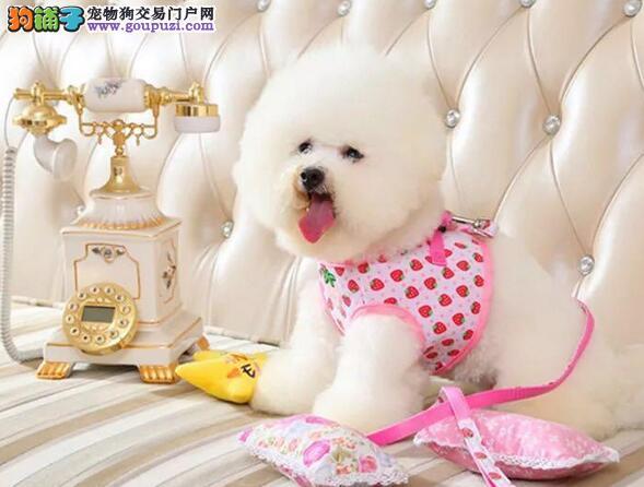 石家庄精品高品质比熊幼犬热卖中微信看狗真实照片包纯