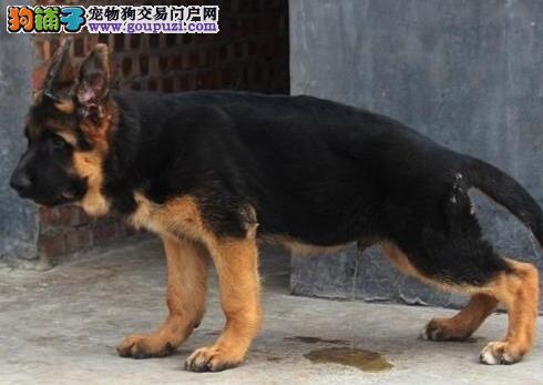 杭州出售锤系弓背德国牧羊幼犬 如非纯种 十倍赔偿