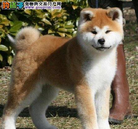 纯种秋田犬幼犬 公母均有颜色齐全 签协议可送货