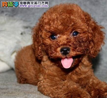 深红色昆明贵宾犬找爸爸妈妈 非常聪明 可爱迷人