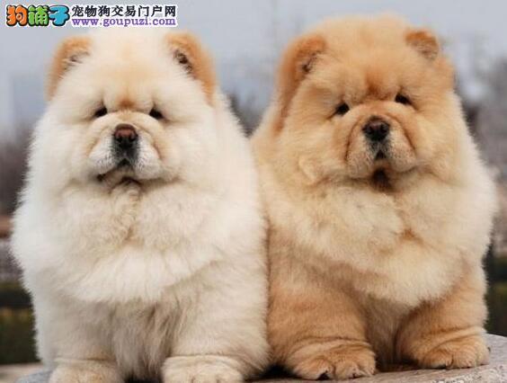 可爱武汉松狮犬低价出售 大毛量品质优秀可预订