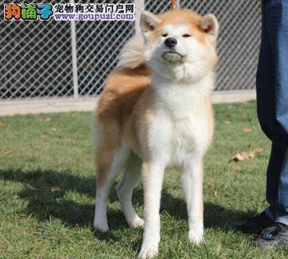 精品纯种三亚秋田犬出售质量三包品相一流疫苗齐全
