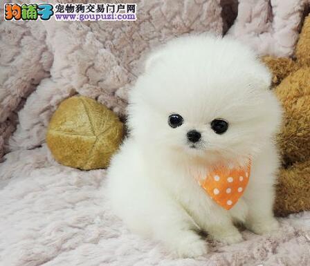 高贵血统可爱乖巧哈多利版的博美宝宝天津火爆出售
