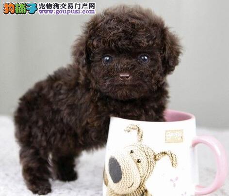 多种血系青岛泰迪犬找新家 喜欢的朋友请尽快与我联系
