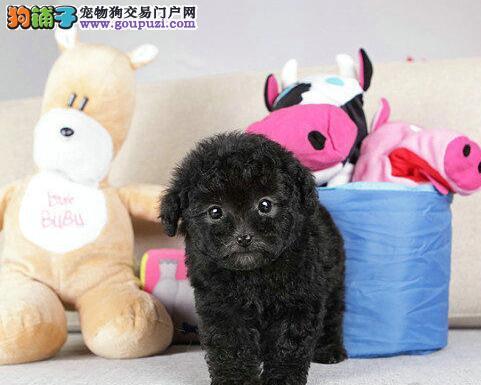 小体型武汉贵宾犬 品相超好 颜色齐全 多只可挑选