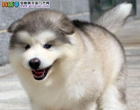 顶级优秀阿拉斯加雪橇犬转让 欢迎来郑州狗场考察