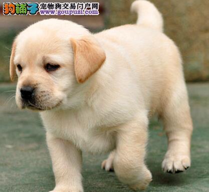 重庆精品高品质拉布拉多幼犬热卖中质保三年支持送货上门
