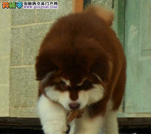 实体店低价促销赛级阿拉斯加犬幼犬真实照片包纯