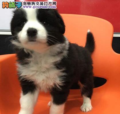 热销极品七白到位深圳边境牧羊犬 服务质量有保证
