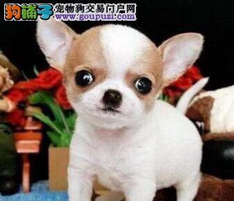 出售多种颜色纯种吉娃娃幼犬欢迎实地挑选