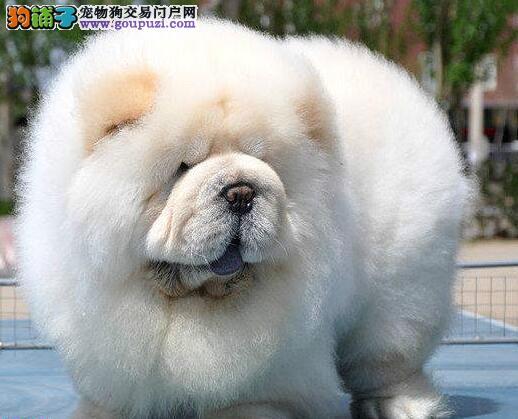 精品大嘴紫舌深圳松狮犬热销 可签订售后质保协议书