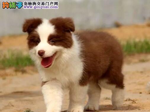 出售广东边境牧羊犬健康养殖疫苗齐全下单有礼全国包邮