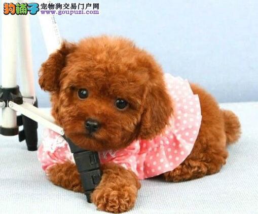 广州宾犬市场价格 出售玩具贵宾茶杯贵宾迷你贵宾犬