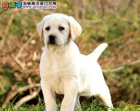 吉林知名犬舍低价转让拉布拉多犬 希望大家上门选购
