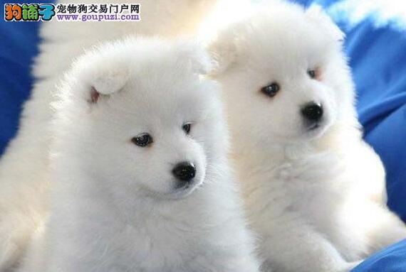 纯种萨摩耶幼犬、品质第一价位最低、等您接它回家
