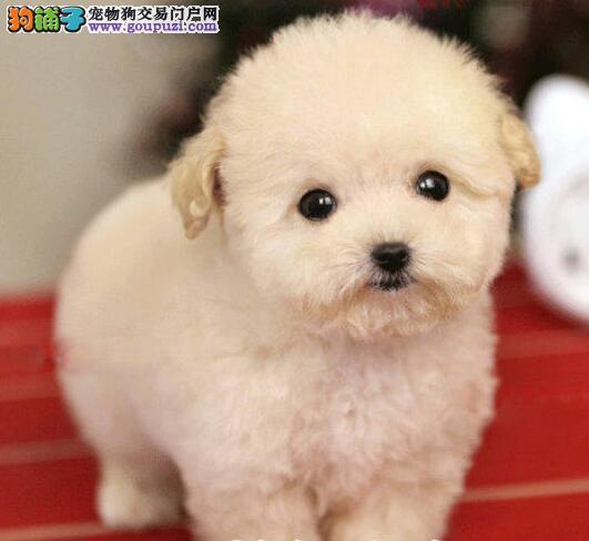 贵阳繁殖基地出售高端品质的泰迪犬 奢侈品质经典出品