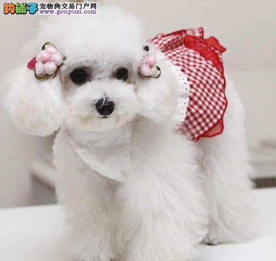 自繁自育自销高品质的贵阳贵宾犬 可随时视频看狗