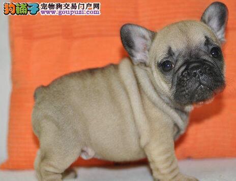 火爆出售顶级品质的斗牛犬 仅限杭州朋友上门选购