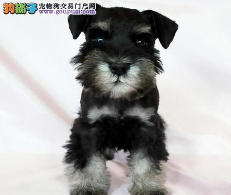 出售完美品相顶级血统的昆明雪纳瑞幼犬 可上门选购