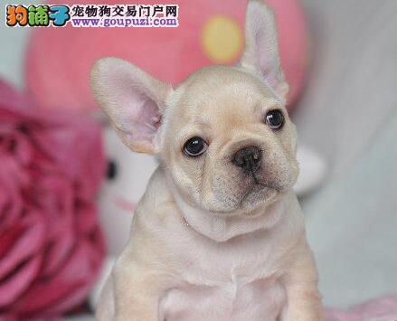 法国斗牛犬幼犬出售中 高端大气精典品质 质保全国送货
