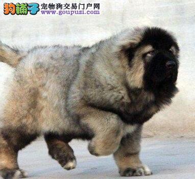 中国宠物协会推荐店铺高加索热销中,详情请加QQ!
