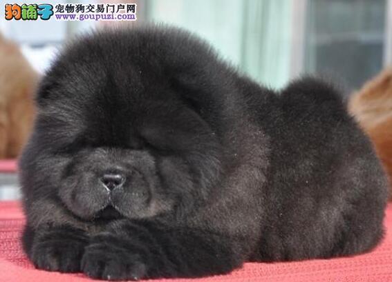 国际注册犬舍 出售极品赛级松狮幼犬品质优良诚信为本