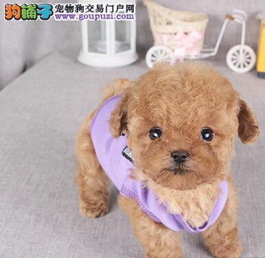 颜色好公母均有的泰迪犬找爸爸妈妈 南宁市内免费送货