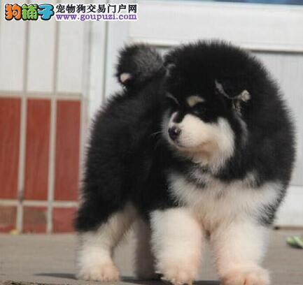 特价出售直系血统福州阿拉斯加雪橇犬 欢迎来犬舍考察