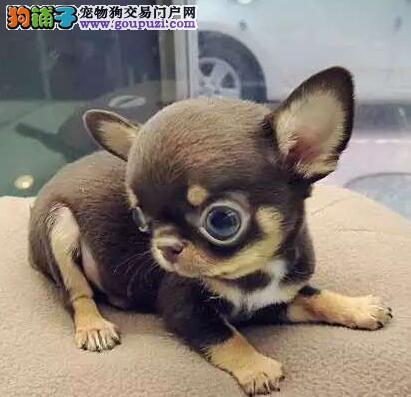 可爱的吉娃娃幼犬转让寻找好心主人