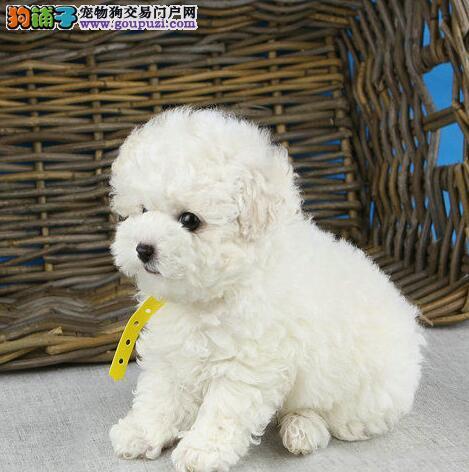 实体店出售精品泰迪犬保健康欢迎上门选购价格公道