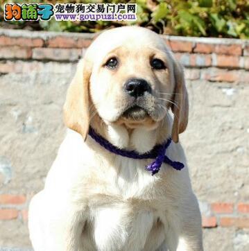 犬舍促销品相好的常州拉布拉多犬质量有保证