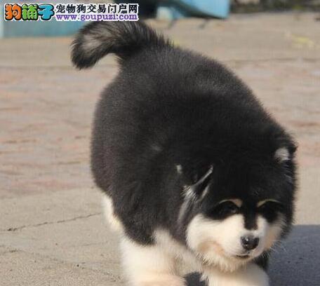 自家狗场繁殖直销阿拉斯加犬幼犬提供护养指导
